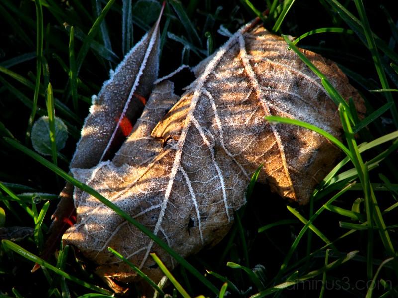 Frosty Leaf - 2006