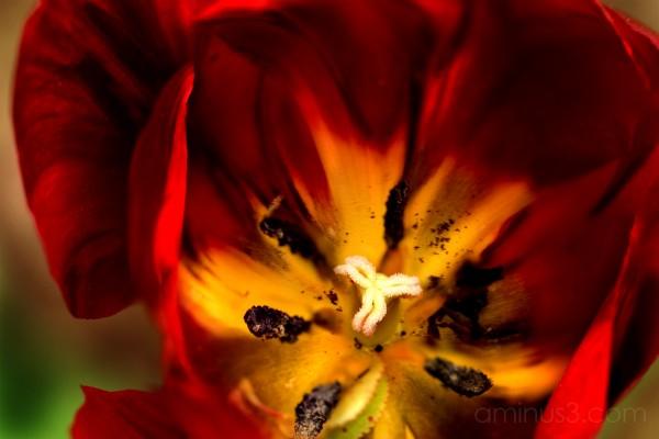 Barb's Tulip - 2006