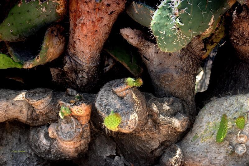 Cactus - Mission San Jaun Bautista