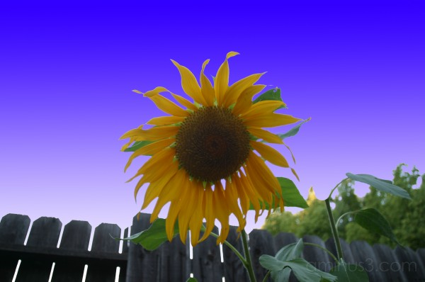 Barb's Sunflower 1