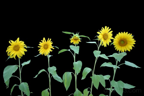 Barb's Sunflowers 2