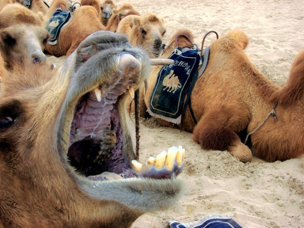 Nice camel!  Good boy!  Staaaay!