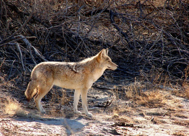 Coyote II - Death Valley, California - 2007