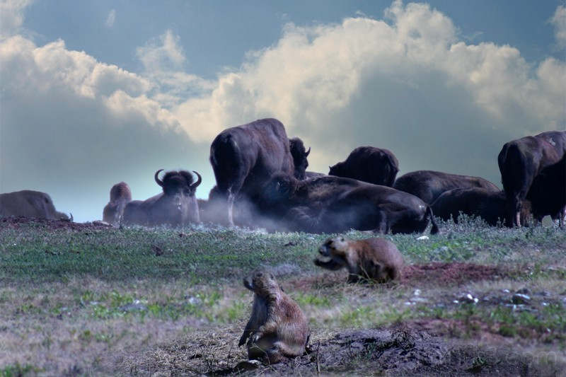 Prairie Dogs and Buffalo