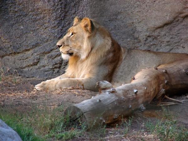 Lion, Sacramento Zoo