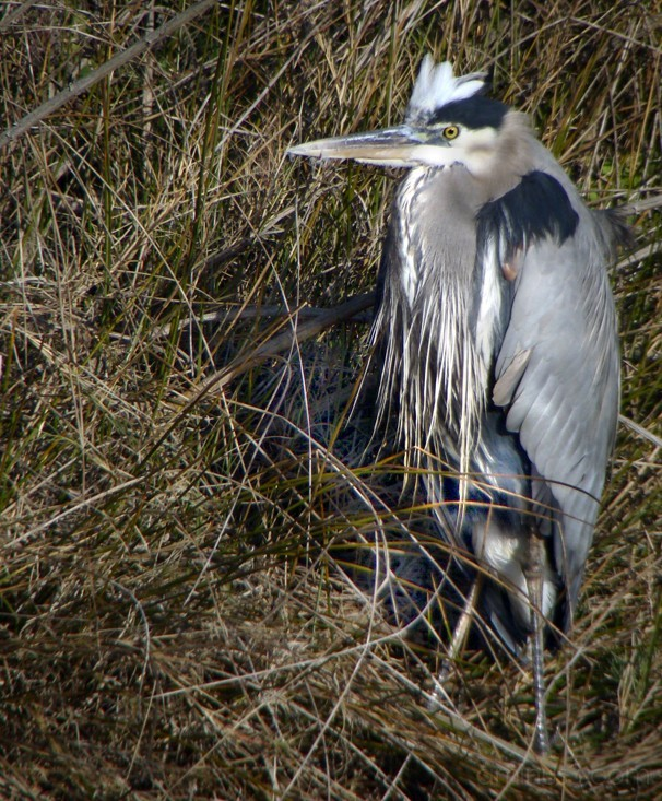 Great Blue Herron