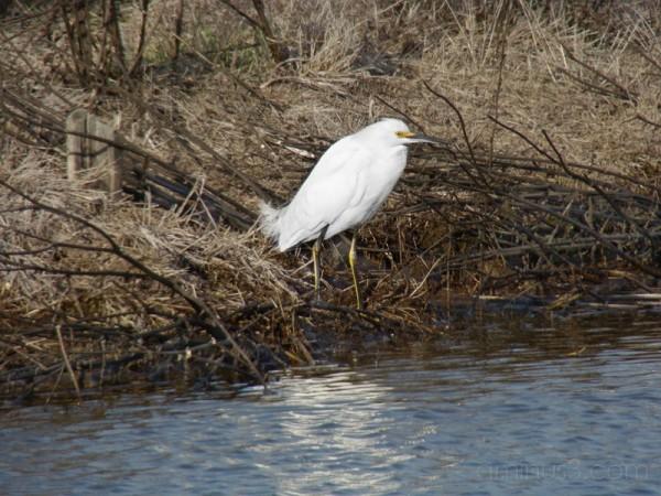Snowy Egret (Egrétta thúla).