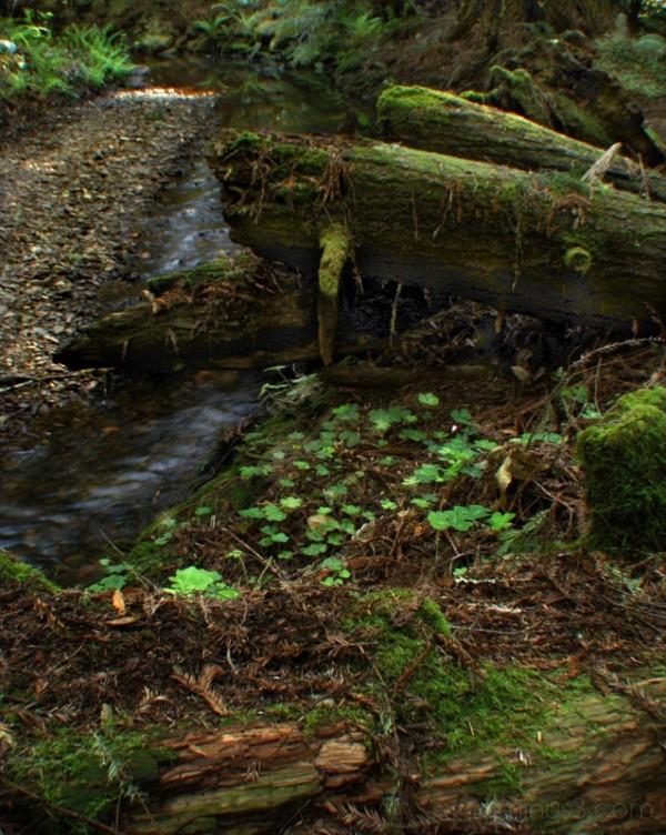 Redwood Forest VII