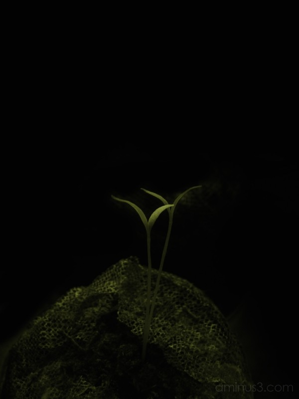 Goji Berry Seedlings at Night