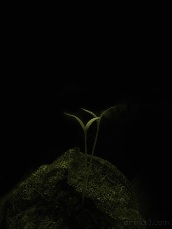 Goji Berry Seedlings at Night