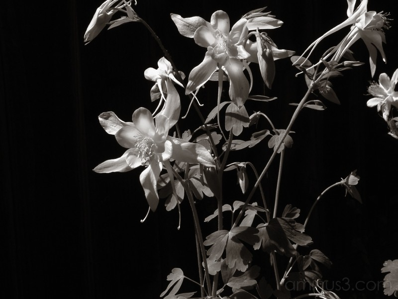 Columbine in Moonlight