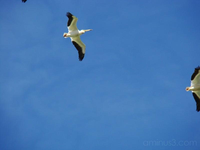 Yolo Bypass Wildlife Area pelican