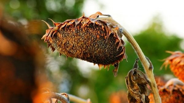 vacaville sunflower california