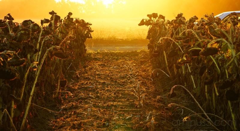 Sunflower Fields of Vacaville, CA
