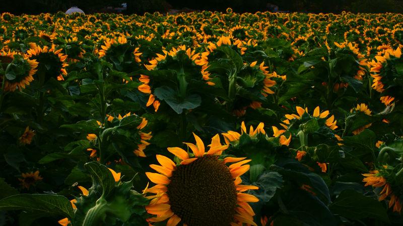 Sunflower Field at Dawn