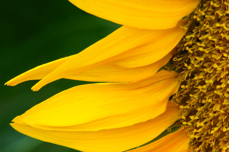 A Closer View of Sunflower Petals