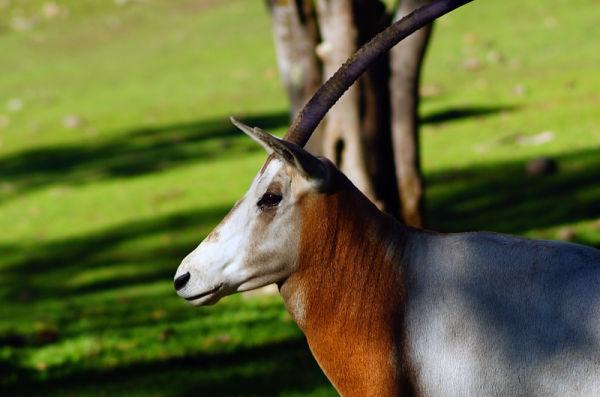 GEMSBOCK - Oryx gazella