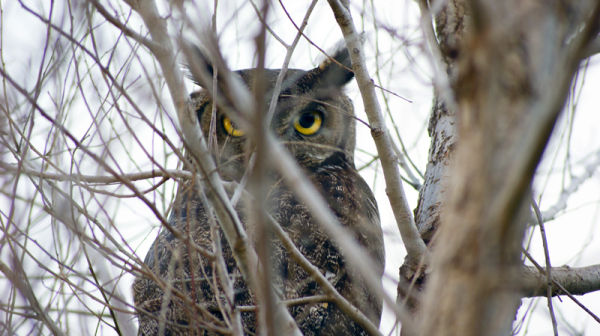 Great Horned Owl - Hiding in Plain Sight
