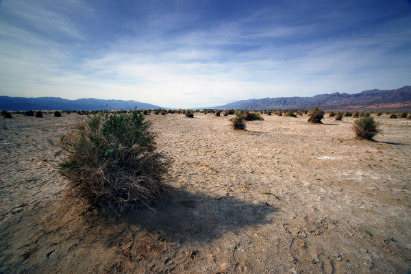 Devil's Cornfield - Death Valley, CA