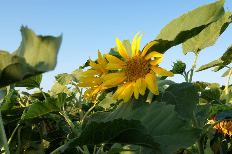Sunflower Fields of California