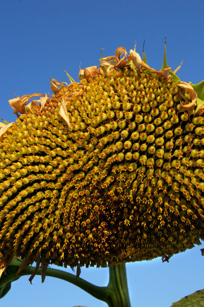 Sunflower Fields of California II