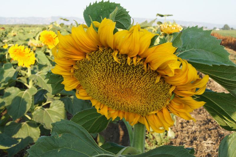 Sunflower Fields of California III
