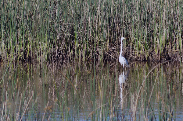 Egret & Reflection