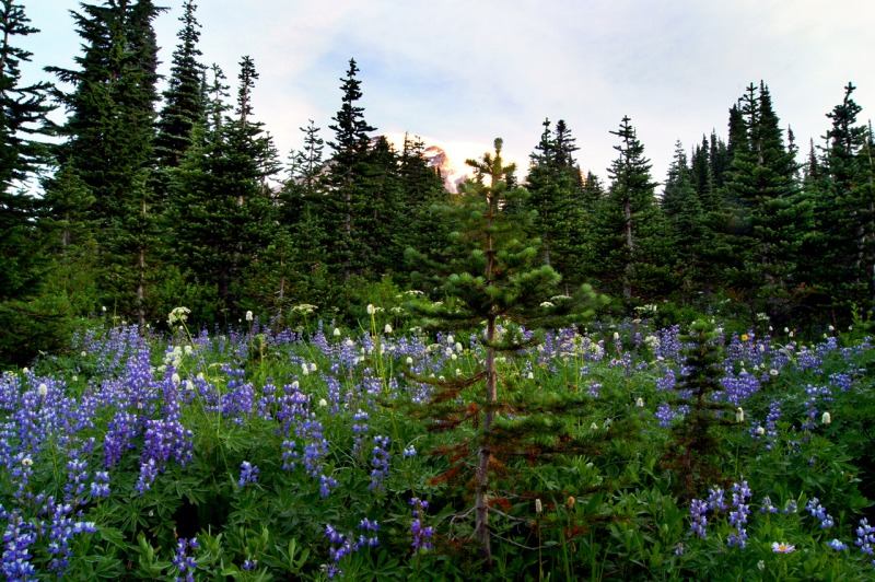 Lupins on Mt. Rainier