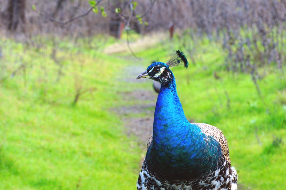 Peacocks III