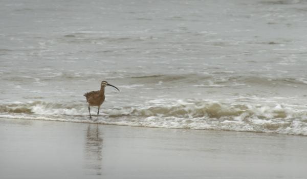 Bristle-thighed Curlew (Sandpiper)