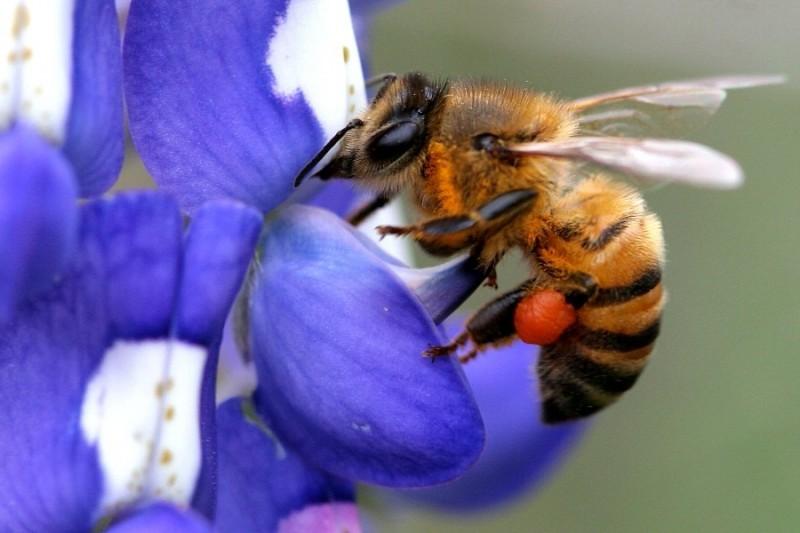 Honeybee collecting pollen.