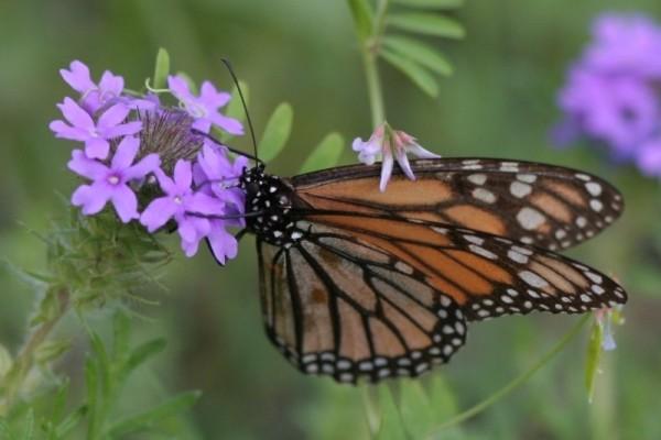 Monarch butterfly feeding on moss verbena