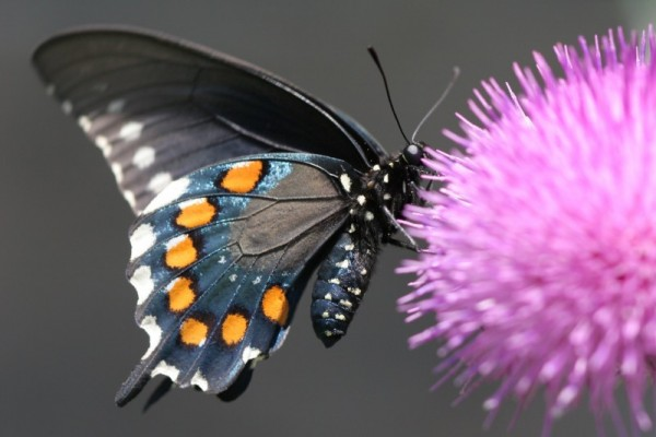 Pipevine Swallowtail feeding on a thistle bloom.