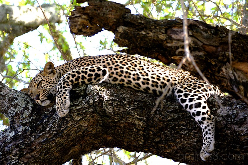 Leopard Cub Asleep in a Tree