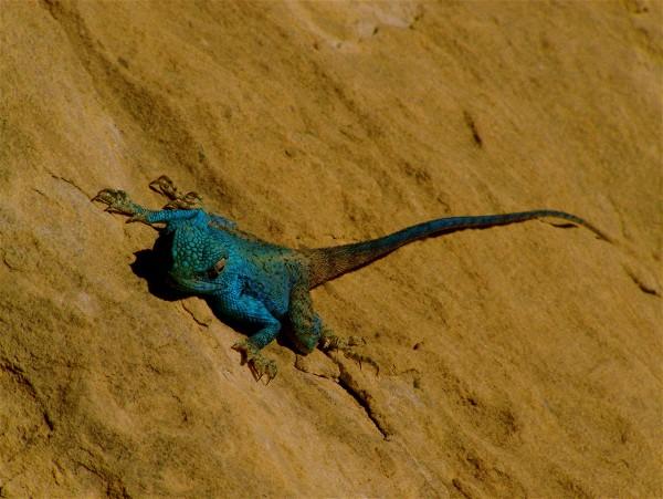 sarah lizard