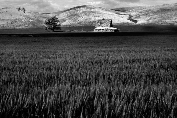 Wheat, Barn, Tree in the Palouse, WA.