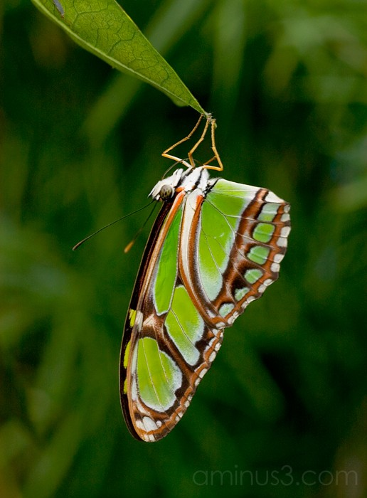 False Malachite Butterfly
