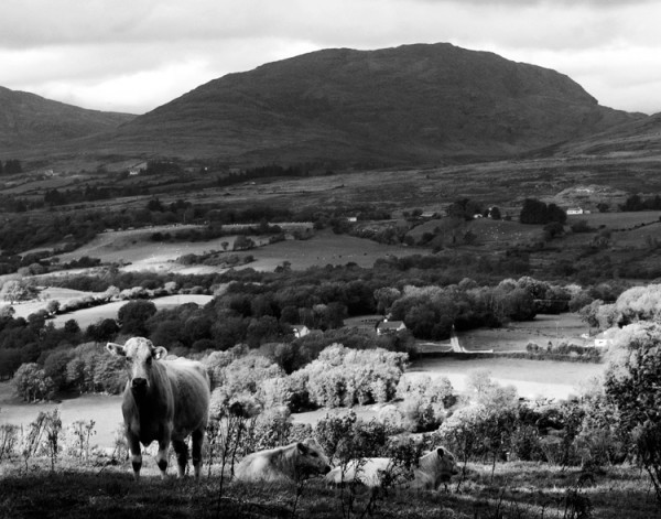 Cows in Co. Kerry