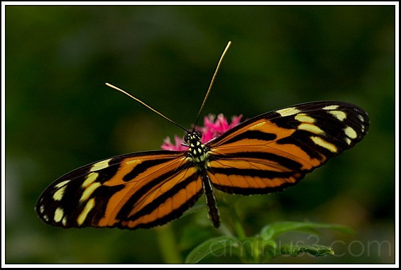 Isabella Butterfly