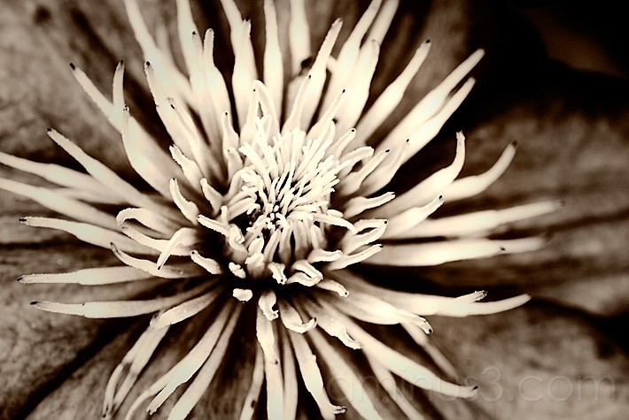 Sepia toned flower