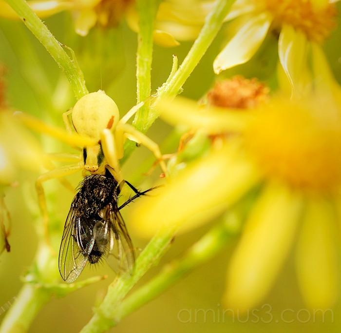 Spider feeding on Fly