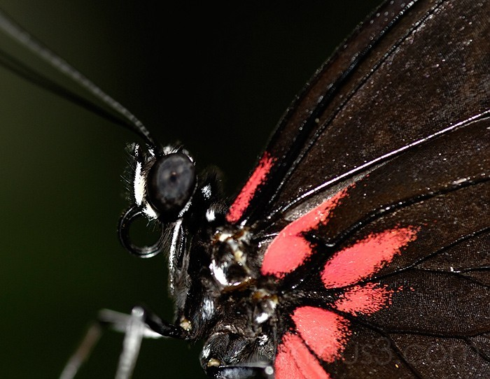 Sera Butterfly