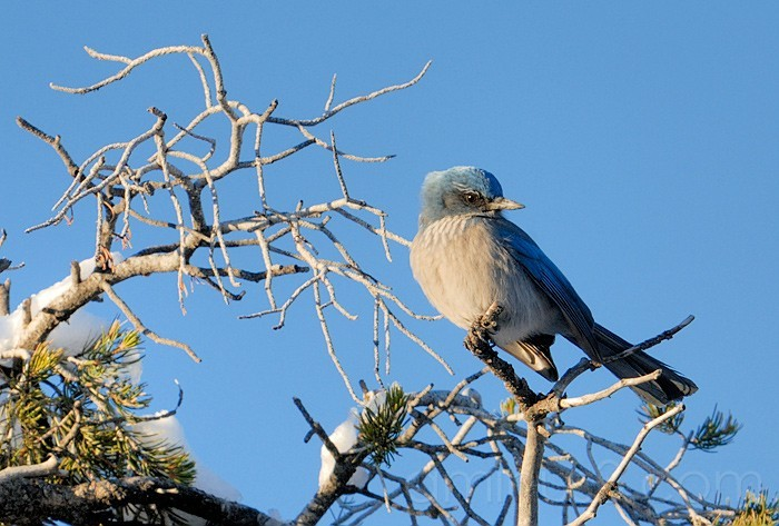 Scrub Jay in the Grand Canyon