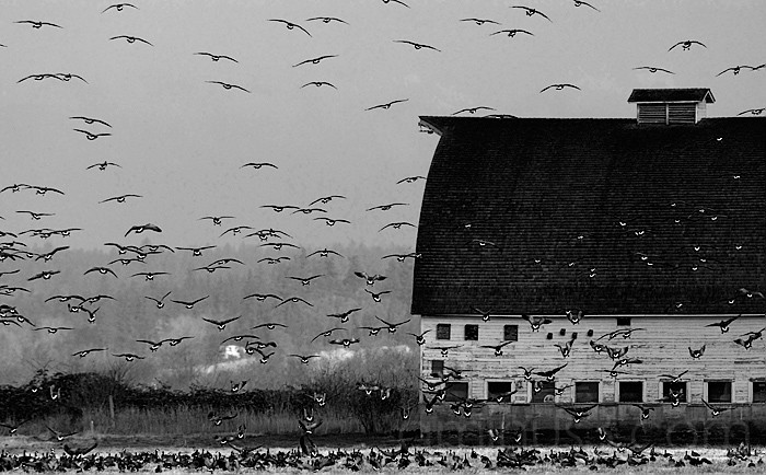 Geese & Barn