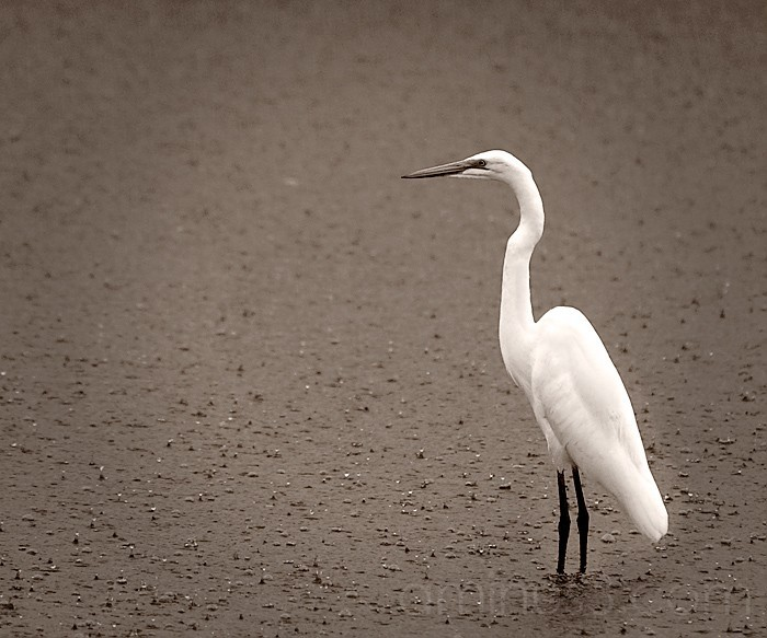 Rain Soaked Great Egret in the desert