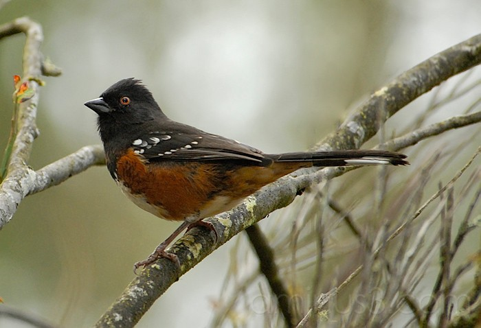 Rufous-Sided Towhee