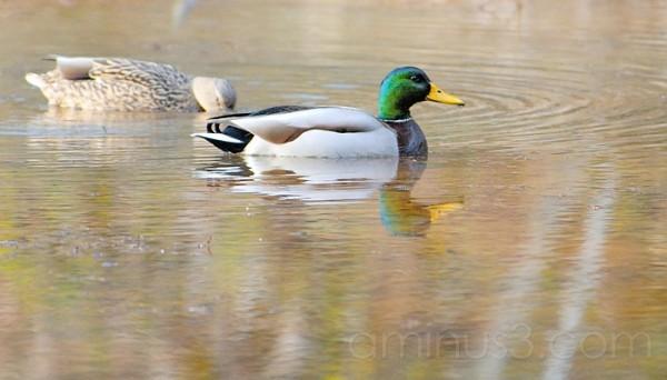 Duo of Ducks