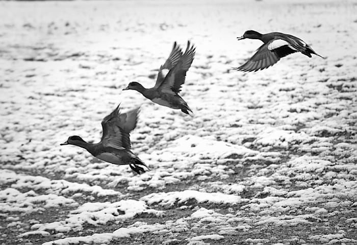 Flying Widgeon
