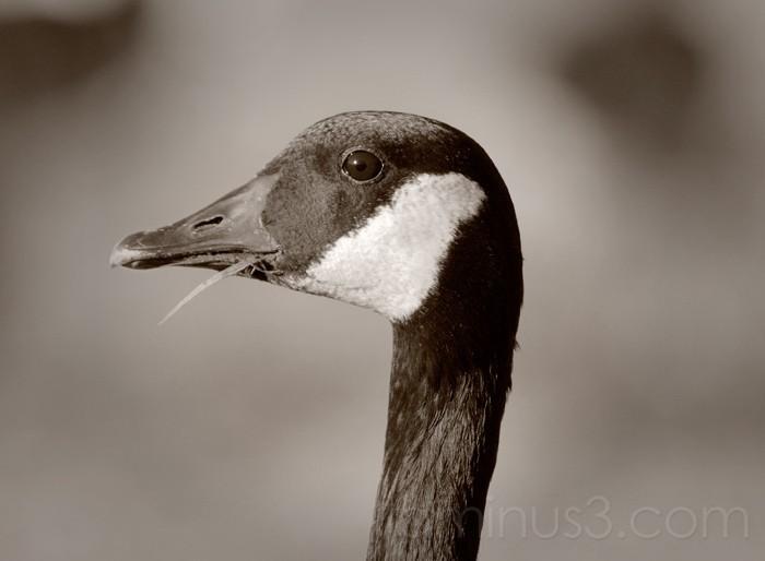 Goose Gothic