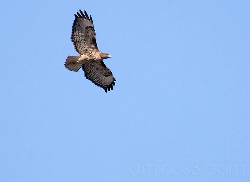 Big Hawk
